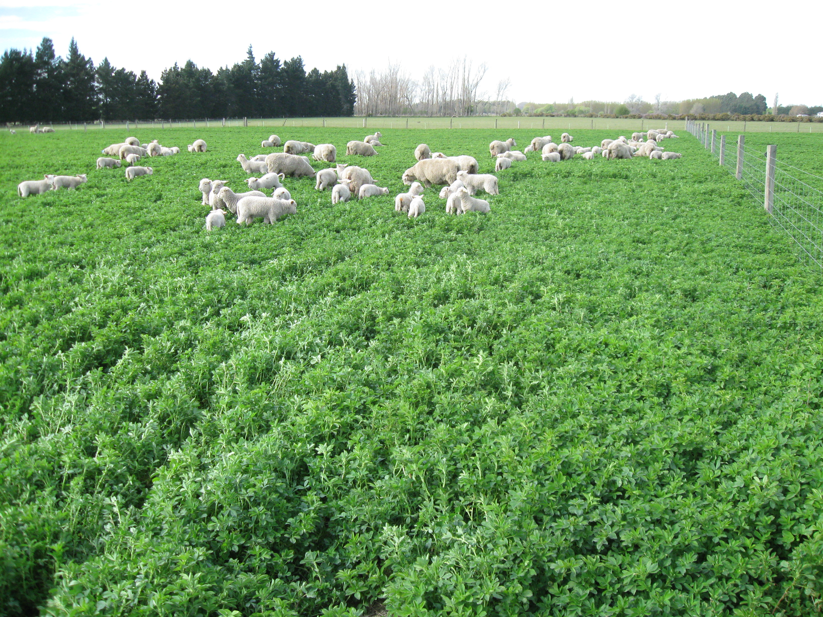 Set stocking lucerne in early spring – the stuff you need ...